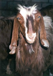 Typical goat that is herded in the mountains of Nabataea.