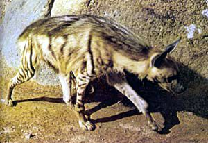 In all my years and wondering in the desert I have only one seen a Hyena, the dreaded wild animal in the desert.