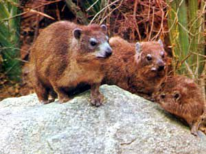Hyrax are still found in small numbers in Nabataea.