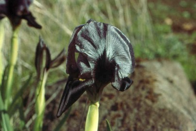 There it is folks, the Black Iris. Just when you thought that you would never see one, one pops up. This beautiful specimen was discovered by Dr. George Kelsy and moved to his garden when it flourished for a couple of years.
