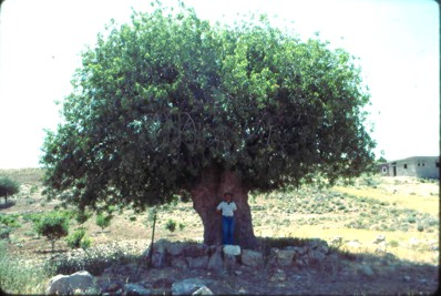 Ancient Olive Trees, over 400 years old