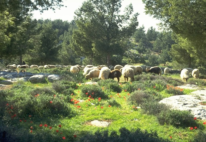 During the spring, the hills turn green, flowers come out, and sheep enjoy the greenery