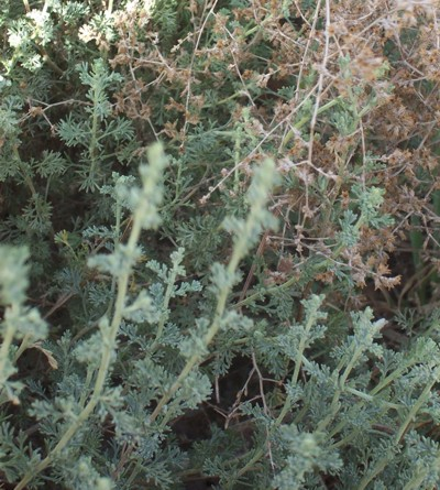 Herba-alba Wormwood  Artemisia inculta  Shiyh  Perennial herb with many basal erect leafy stems covered by soft dense to wooly hairs. Leaves dissected, greyish, covered by woolly hairs, stronly aromatic. A medicinal tea is made of the leaves for stomach pains and cramps.